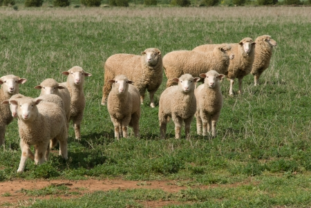 ewes and lambs in a rural pasture photo