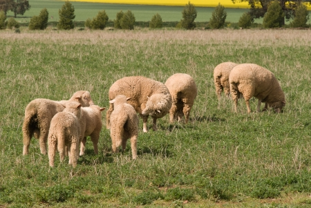 4 ewes and their lambs in rural pasture photo