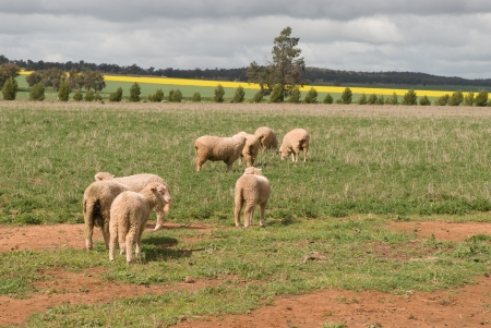 ewes: ewes and lambs grazing with crops and cloudy sky