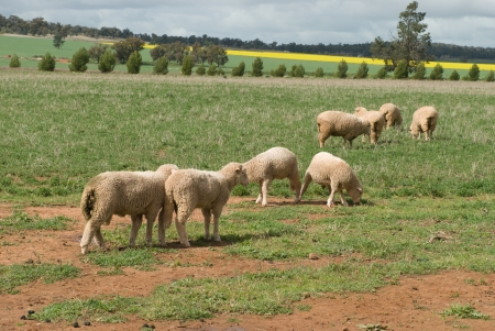 ewes and lambs grazing with crops and trees  photo
