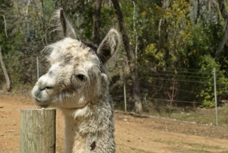 alpaca animal: a close-up of an alpaca in animal sanctuary