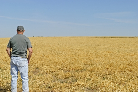 wage earner: A farmhand looking over a ripening peas crop