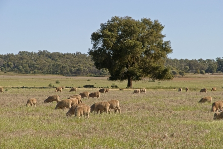 young ewe's graze in a rural pasture Stock Photo - 17034609