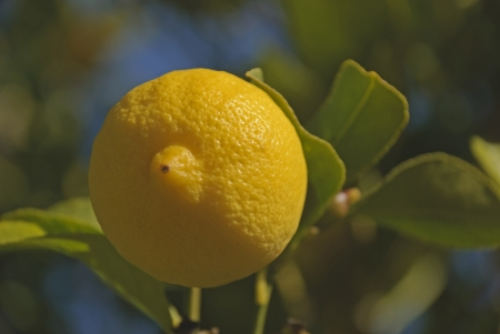 a single ripened lemon in a orchard photo