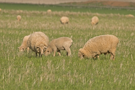 lambs and ewes grazing in a lush grass pasture close-up photo