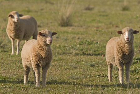 young lambs close-up in a grass pasture photo
