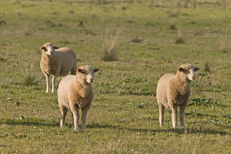 3 sheep in a rural grass pasture photo