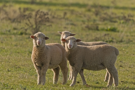 3 young sheep in a grass pasture photo