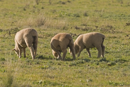 three lambs grazing in a grass pasture close-up photo