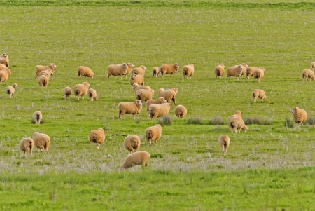ewes and lambs grazing in a lush grass pasture photo