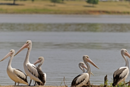 pelicans resting on land beside a lake photo