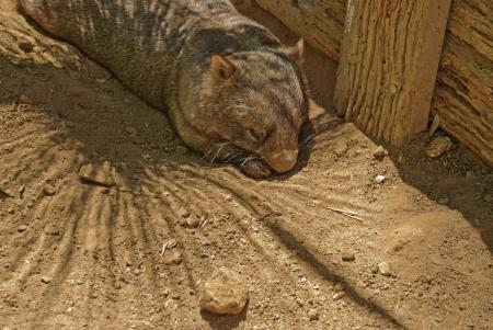 wombat: un adulto wombat que descansa sobre el suelo