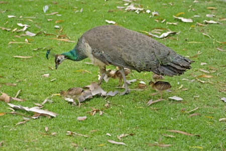 a peahen and her 4 chicks closeup photo