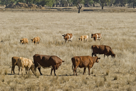 a mob of cows and calves grazing in grass pasture photo