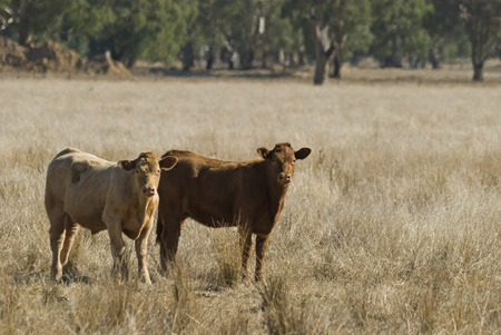 2 calves standing in a paddock closeup photo