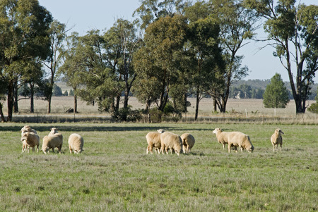 a small mob of ewes grazing in a grass pasture photo