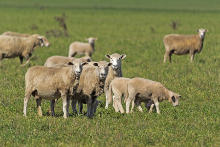 mob of crossbreed ewes and lambs closeup photo