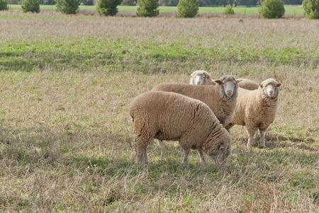 ewes: 4 crossbreed ewes closeup in a grass pasture