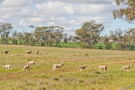 ewes: crossbreed ewes and lambs graze in a grass pasture