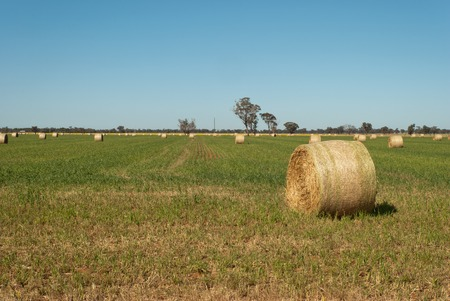 round hay bales in a lush grass pasture photo