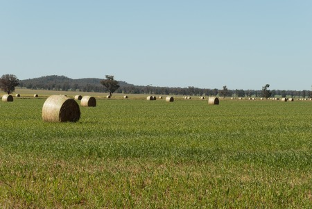 round hay bales in a lush grass pasture with a blue sky photo