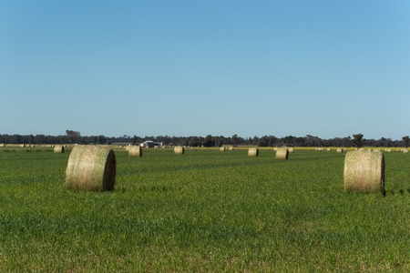hay bales in a grass rural pasture with blue sky photo