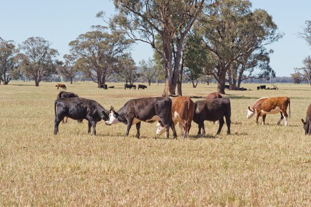 hereford: a mob of angus and hereford cattle in a grass pasture