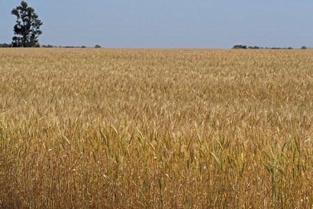 a ripening wheat crop with trees and blue sky photo
