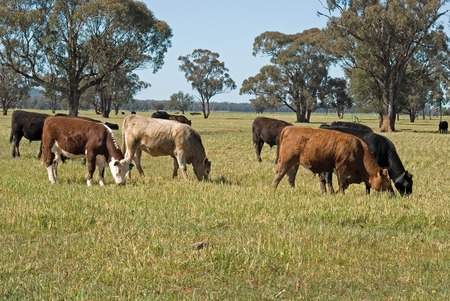 australia farm: a mob of cattle grazing in a lush grass pasture with trees and blue sky