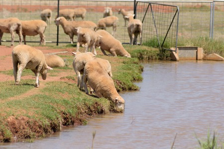 australasia: a closeup of sheep drinking from a water channel