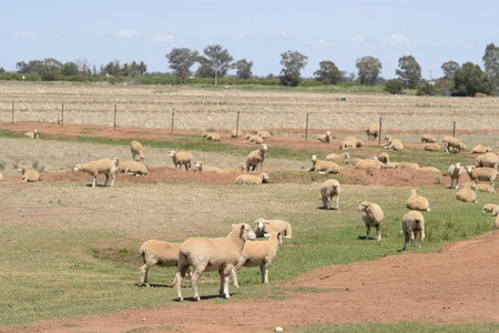 mob: mob of sheep resting in a paddock with trees and blue sky