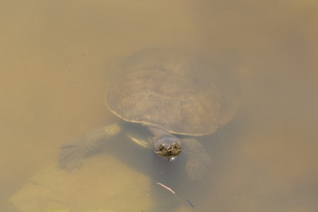 chelonia: a closeup of a turtle in dirty water