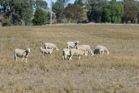 acreage: a small mob of wiltipoll ewes and lambs grazing in a grass pasture with trees in background Stock Photo