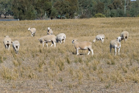 ewes: a mob of Wiltipoll ewes in a farm pasture with trees in background