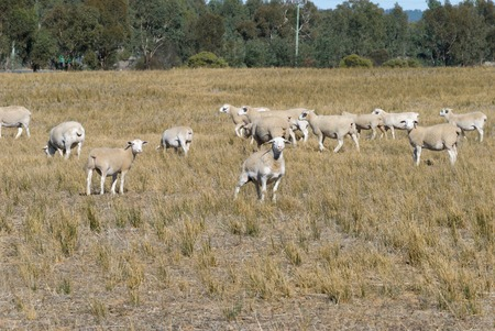 ewes: a mob of wiltipoll ewes and lambs moving through a grass pasture with trees in background