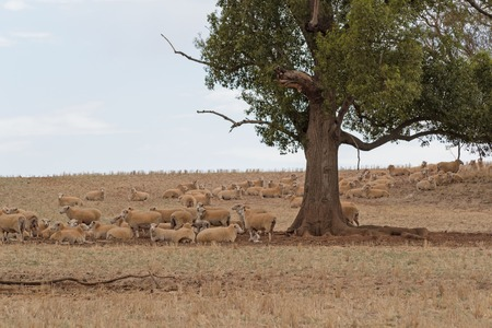 ewes: a mob of crossbreed ewes and lambs resting in shade of tree
