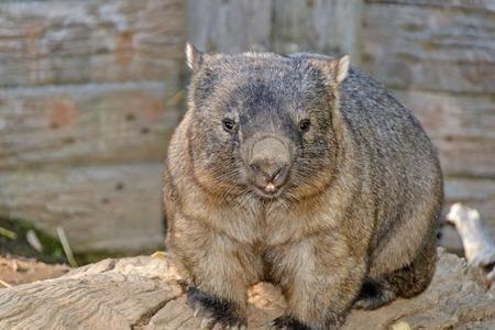 wombat: un wombat sentado en un tronco de árbol en el zoológico Foto de archivo