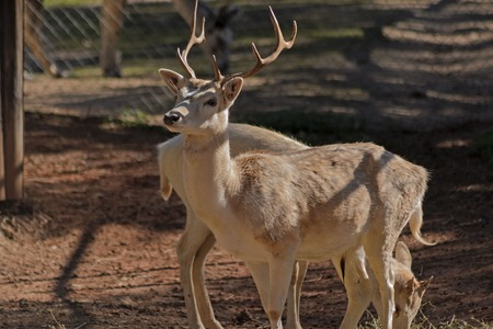 closeup of 2 deer in an animal sanctuary photo