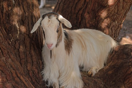 bovidae: a goat sitting in the fork of a tree Stock Photo