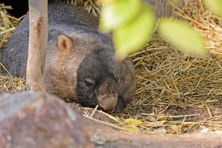marsupial: a closeup of an Australian marsupial resting on hay