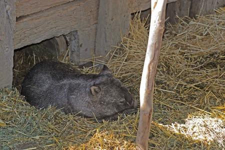 wombat: un wombat que pone bajo una cubierta en santuario de animales