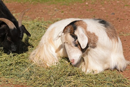 nanny goat: closeup of a goat eating hay and one resting on ground