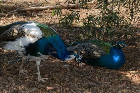 adult male: un primo piano di pavoni maschi 2 adulti