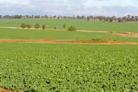 rural countryside: a young healthy canola crop on undulating rural countryside