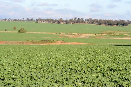 undulating: a healthy canola crop on undulating landscape Stock Photo