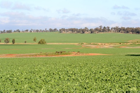 maturing: a healthy maturing canola crop in undulating paddock with clouds