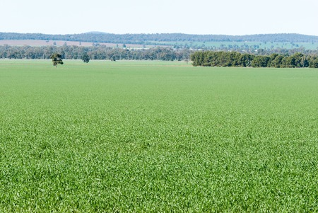 acres: a young healthy cereal crop on acres of rural ground with blue sky