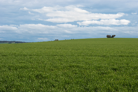 australasia: a healthy cereal crop on sloping rural land with overcast sky