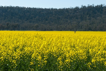 yellow agriculture: a healthy canola crop growing at the foot of a hill