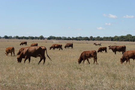 mob of cattle grazing on a stubble pasture with trees and clouds in sky